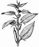 Plant Corchorus