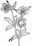 Plant Helleborus viridis