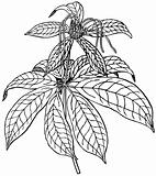 Plant Paris polyphylla