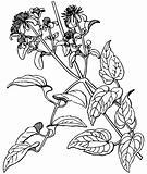 Plant Clematis vitalba