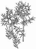 Plant Nigella damascena