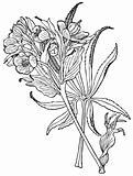 Plant Helleborus foetidus