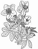 Plant Helleborus niger