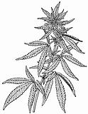 Plant Cannabis sativa