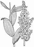 Plant Veratrum album
