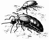 Beetle Meloe proscarabaeus
