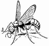 Wasp Calicurgus hyalinatus