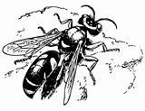 Spiny digger wasp