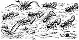 Amazon ants Polyergus