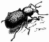 Beetle Curculionidae