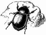 Beetle Pentodon idiota