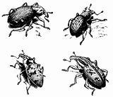 Weevil Cleonus