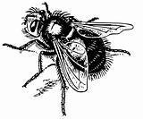 Fly Echinomyia