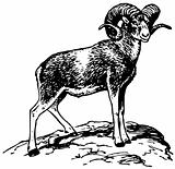 Argali mountain sheep