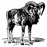 Mouflon