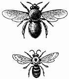 Bugs Anthophora