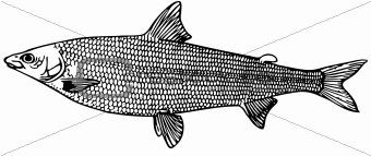 Fish Coregonus (salmon)