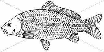 Fish Prussian carp
