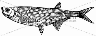 Fish Ziege (Sabre carp)