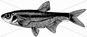 Fish Spirlin