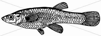 Fish Gambusia