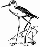 Bird Black-winged Stilt