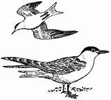 Bird Sterna