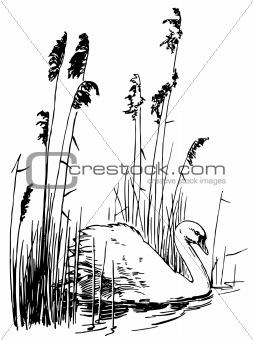 Bird Mute Swan