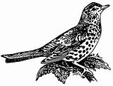 Bird Mistle Thrush