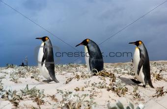 Three King Penguins