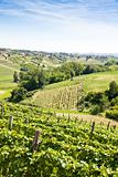 Italy - Piedmont region. Barbera vineyard