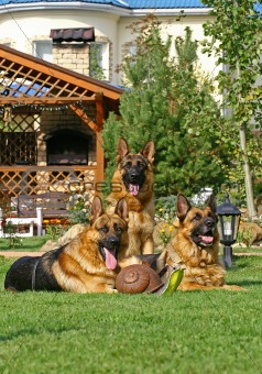 3 german shepherds on the grass