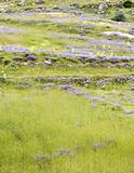 hillside pasture with lavender violets primroses