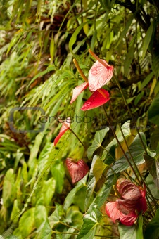 Anthurium Red in Tropical Forest