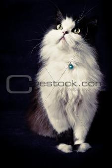 classic persian cat