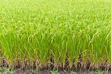Paddy rice in field, Thailand