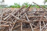 Pile of eucalyptus tree wood for construction
