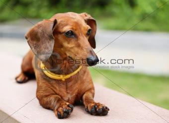 dachshund in park