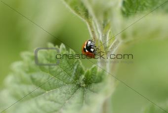 One ladybird climbing a nettle stem.