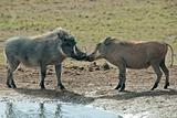 Kissing warthogs