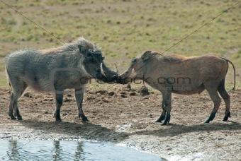 Kissing warthogs