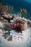 Striped lionfish