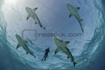 Flight of the lemon sharks