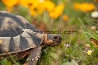 Tortoise amongst the flowers
