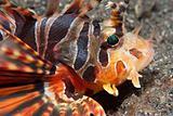 Glaring lionfish