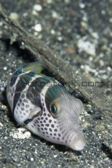 Pouting pufferfish