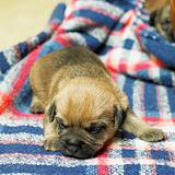 puppy (Border Terrier)