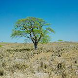 lonely tree, Camaguey Province, Cuba