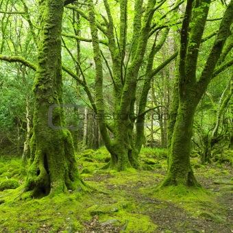 forest, Killarney National Park, County Kerry, Ireland