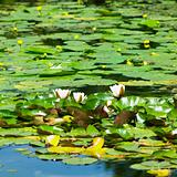water-lilies, Powerscourt Gardens, County Wicklow, Ireland